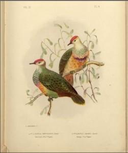 Pigeons of Australia